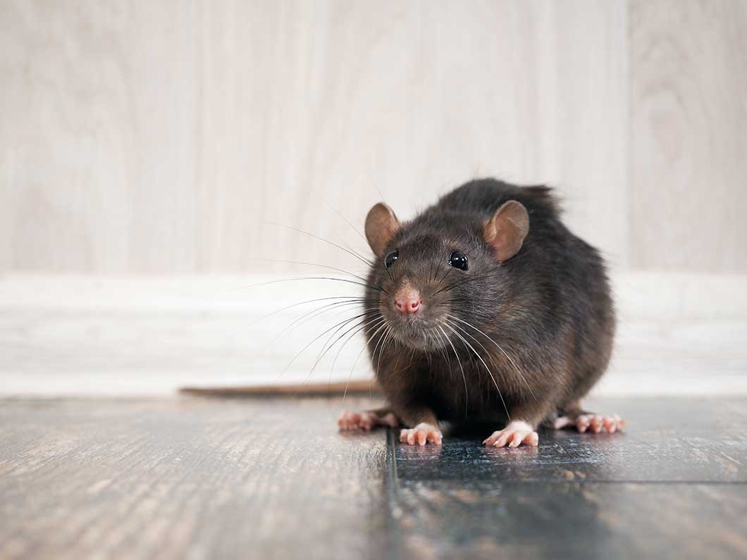 Stop the squeaking with rodent control services